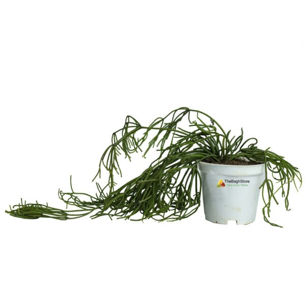 Rhipsalis Baccifera, Succulent , Hanging - Plant