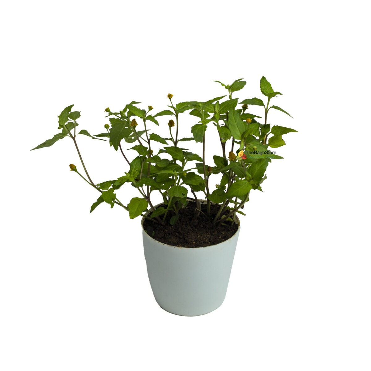 Acmella Oleracea, Toothache, Akarkara - Plant