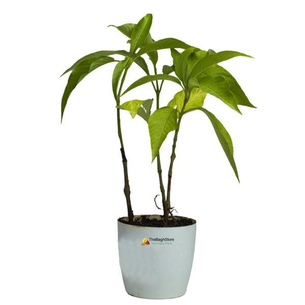 Adulsa vasaka adhatoda Justicia plant