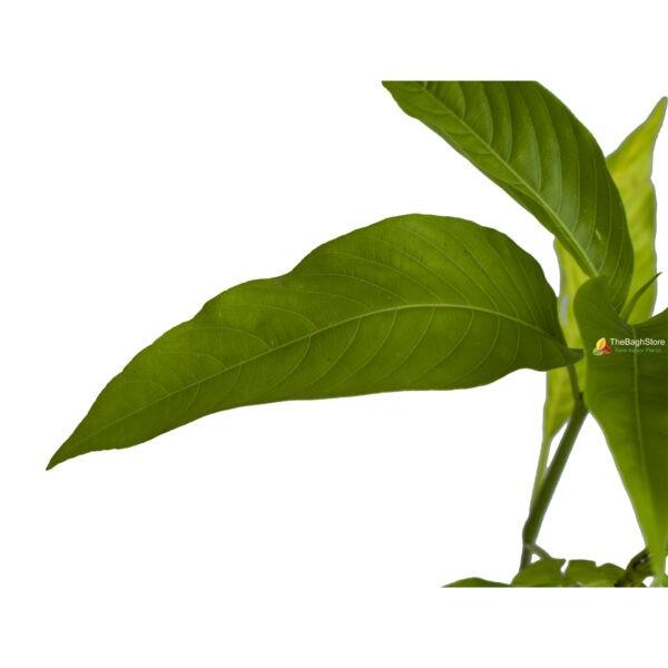 vasaka adhatoda Justicia plant